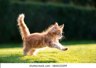 playful red ginger tabby maine coon kitten running on grass outdoors in sunlight
