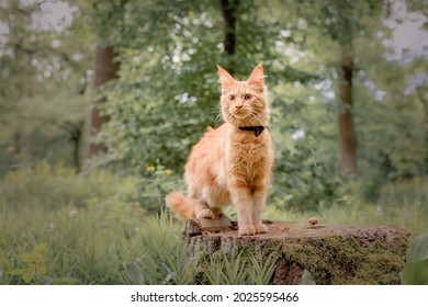 Playful red ginger tabby maine coon kitten outdoor