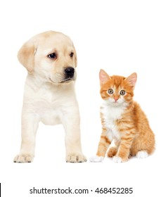 Playful red kitten and  labrador puppy on a white background isolated