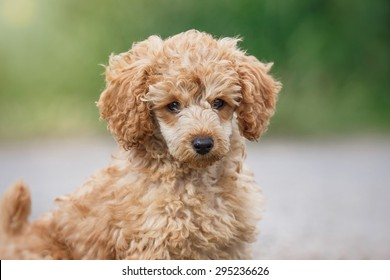 Playful red toy poodle puppy jumps, runs, plays