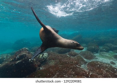 A playful sealion swims in the waters around the Galapagos islands