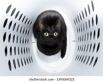Playful, shiny black cat sitting in a white laundry basket, looking up