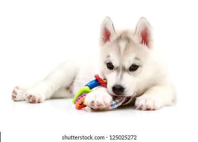 Playful Siberian Husky puppy