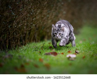 playful silver tabby maine coon cat hunting running on grass looking ahead focused outdoors in the back yard