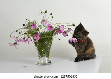 Playful small tortoiseshell colored kitten plays with beautiful bouquet of colorful Cosmos/ Cosmos bipinnatus flowers in glass vase in studio against white background.