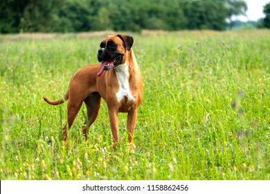 Playful , smart, strong beautiful boxer dog  in nature