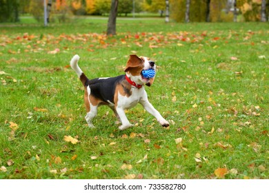 Playful and sportive young beagle dog run at autumn park field with toy in mouth. Long funny ears flap around head of cute and active doggy
