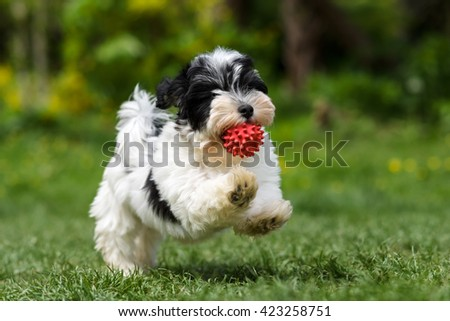 Playful Spotted Havanese Puppy Dog Running Stock Photo Edit Now
