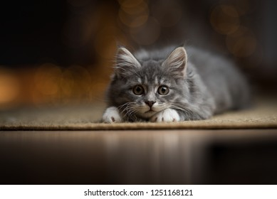 playful tabby blue maine coon kitten lurking on a sisal carpet with christmas light string bokeh in the background