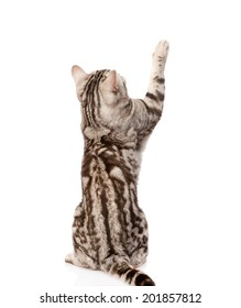 Playful tabby cat. Back view. Isolated on white background