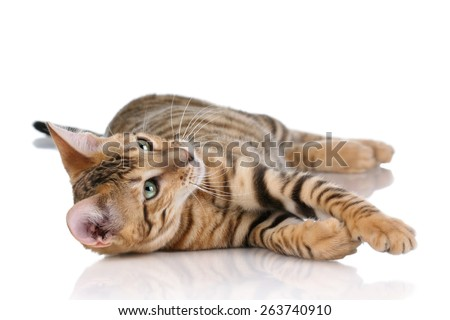 Playful tabby cat lying on its side on a white background