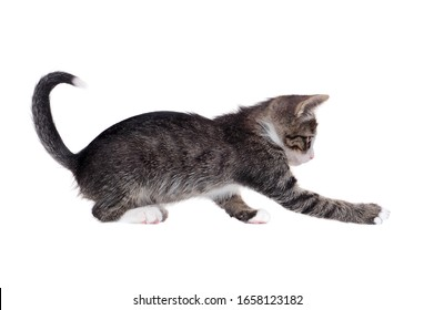 Playful tabby kitten at the white background