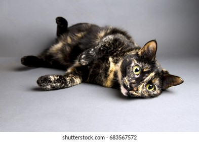 Playful tortoiseshell can rolled over on her back ready to play isolated with a gray background.