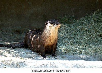 playful wet otter alertly watching