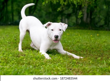 A playful white Retriever x Terrier mixed breed dog in a play bow position
