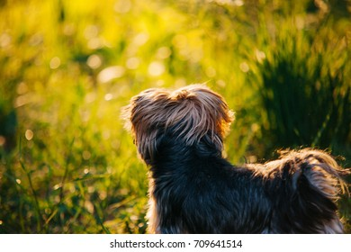 playful yorkshire terrier back in green grass at sunset backlight