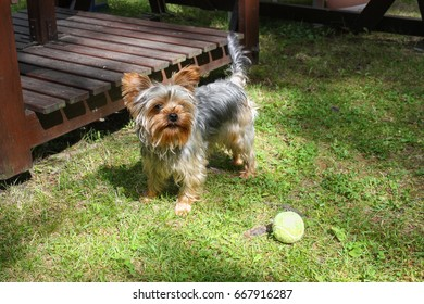 Playful Yorkshire terrier outside in the yard with a tennis ball
