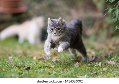 playful young blue tabby maine coon cat jumping around in the garden hunting cat's toy