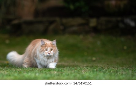 playful young cream tabby white ginger maine coon cat hunting in the garden at night sneaking over the lawn