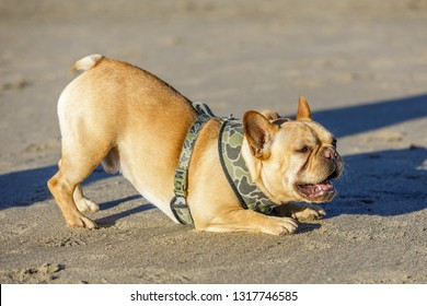 Playful young French Bulldog male bowing down and barking at other dogs. Sandy beach in Northern California.