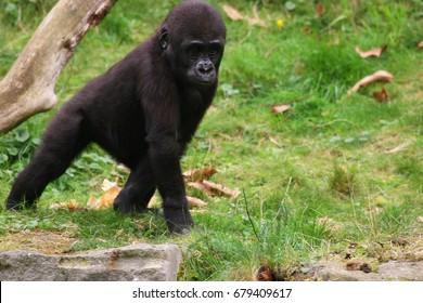 playing baby of western lowland gorilla