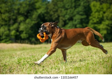 Playing boxer dog in a summer meadow