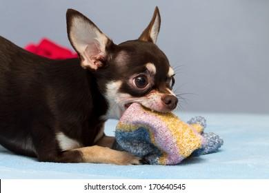 playing Chihuahua