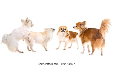 playing chihuahuas in front of white background
