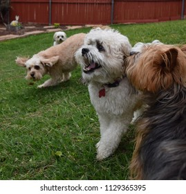 Playing dogs in backyard