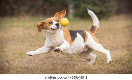 Playing fetch with funny beagle dog