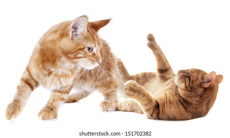 playing ginger kitten on a white background