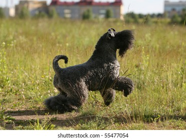 Playing Kerry Blue Terrier