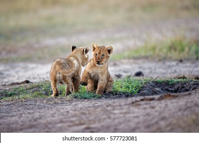 Playing Lion cubs in Masai Mara, Kenya