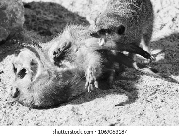 playing meerkats in black and white