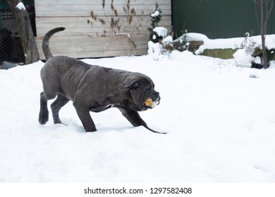 Playing one six month cane corso puppy with toy winter outdoor