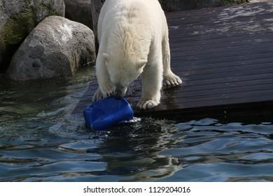 the playing polar bear