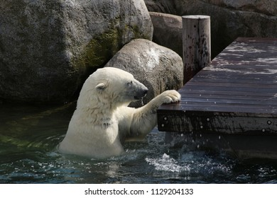 the playing polar bear