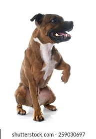 playing Staffordshire bull terrier in front of white background