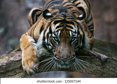 Playing Sumatran Tiger