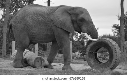 Playing with a tire Elephants are large mammals of the family Elephantidae and the order Proboscidea. Two species are traditionally recognised, the African elephan and the Asian elephant