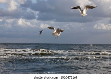 playing white gulls on a spring beach at the Baltic Sea