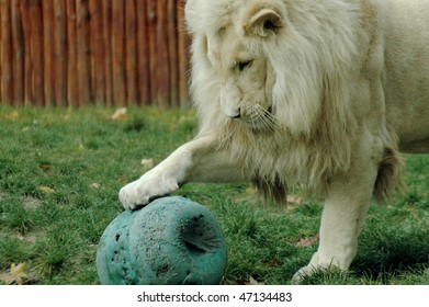 Playing white lion (Panthera leo krugeri)
