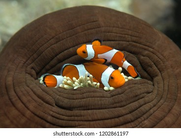 Please open the door. Two ocellaris clownfish ( Aphiprion ocellaris )  shelter themself among the venomous tentacles of a magnificent sea anemone ( Heteractis magnifica ), Bali,Indonesia