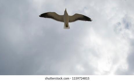 Pleasure to watch the solitary flight of the seagulls Larus dominicanus, on a bucolic walk, visiting Itaipu beach, in Niterói, Rio de Janeiro.