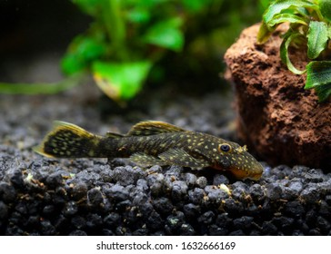 Plecostomus, orPlecos, are a group of armored catfish that belong to the Loricariidae family. They are by far the most popular catfish amongstfishkeepers