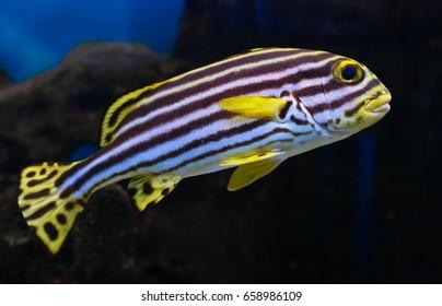 Plectorhynchus lineatus