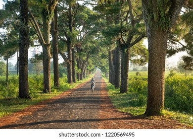 Pleiku City, Gia Lai province, Vietnam - October 16, 2018: Kids ride bikes to school on the road with two rows of pine trees which were planted nearly 100 years at Pleiku town in a morning. This is a