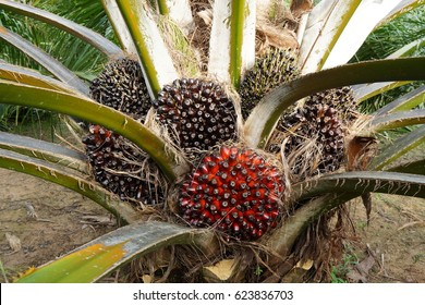Plentifully Oil Palm Tree