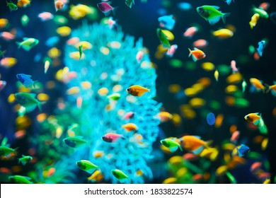 Plenty of Aquarium fish on a dark background.  Gymnocorymbus ternetzi. Bright glowing colors.   exotic Glo Tetra Fish (fluorescent glo fish), neon glowing fish