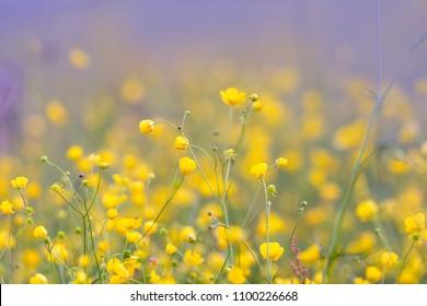 Plenty of buttercup flowers growing on the meadow